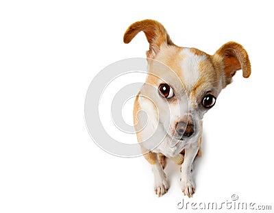 Chihuahua Lifts Ear To Eavesdrop