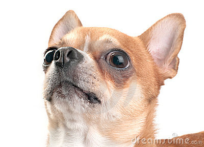 Chihuahua looking up close-up isolated