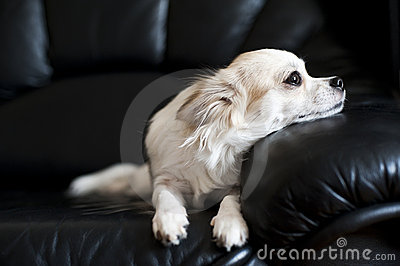 Chihuahua lying on black  leather chair
