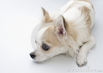 Chihuahua lying down in profile