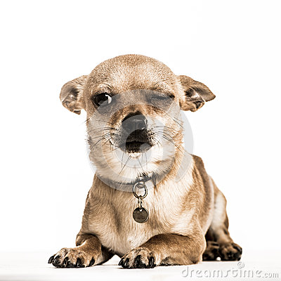 Free Chihuahua Lying Down With One Eye Closed, Isolated Royalty Free Stock Images - 72892099