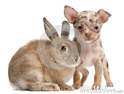 Chihuahua met een konijn