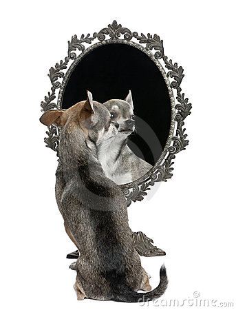 Chihuahua with mirror sitting i