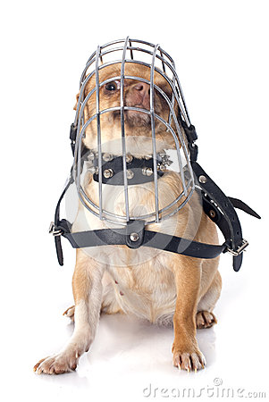 Chihuahua In Muzzle Stock Photo - Image: 40091469