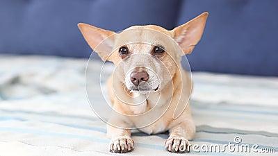 Chihuahua O cão vermelho feliz encontra-se no sofá e sacode-se sua cauda O cão exulta seu mestre Cão misturado marrom brincalhão  filme
