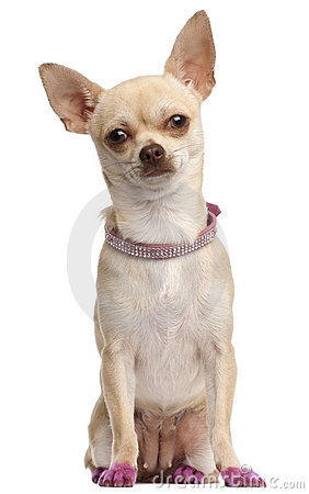 Chihuahua in pink, 11 months old, sitting