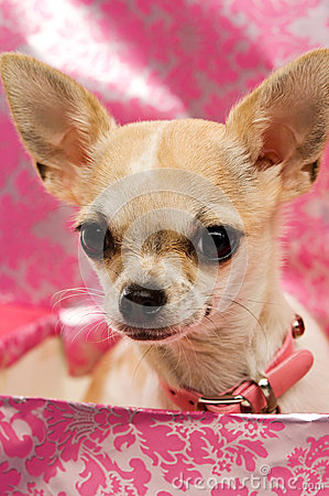 Chihuahua in a pink gift box