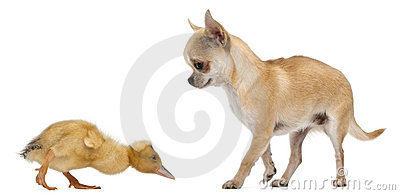 Chihuahua playing with a domestic duckling