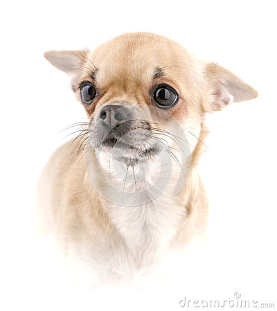high chihuahua chihuahua portrait isolated in high key royalty free stock 6888
