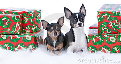 Chihuahua Presents