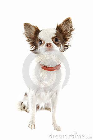Chihuahua with preventive collar