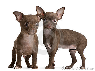 Chihuahua puppies, 10 weeks old, standing