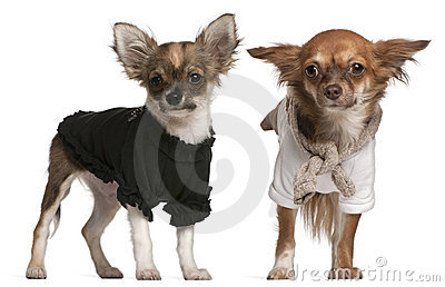 Chihuahua puppies, dressed up