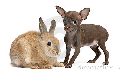 Chihuahua puppy, 10 weeks old, and rabbit