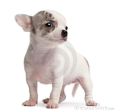 Chihuahua puppy, 10 weeks old, standing