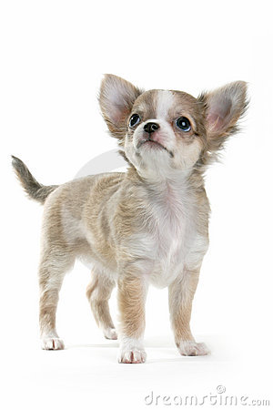 Free Chihuahua Puppy Royalty Free Stock Photo - 996345