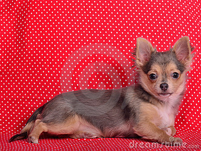 Chihuahua puppy against red polka-dot background