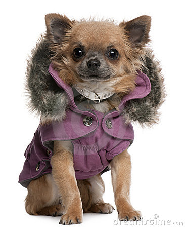 Chihuahua puppy dressed in purple hooded coat