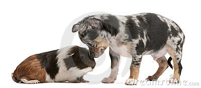 Chihuahua puppy interacting with a guinea pig