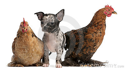Chihuahua puppy interacting with a hens