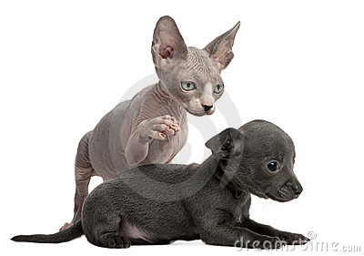 Chihuahua puppy interacting witha Sphynx kitten