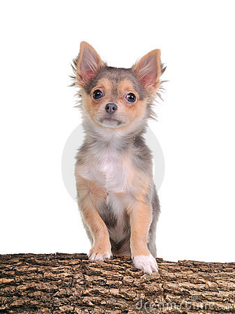 Chihuahua puppy with paws on wooden trunk