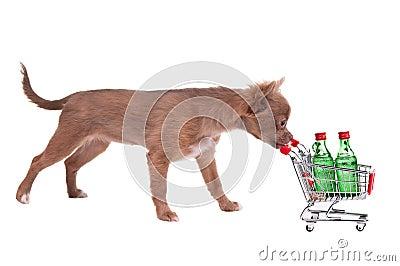 Chihuahua puppy pushing a shopping cart