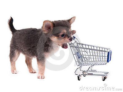 Chihuahua puppy and shopping cart