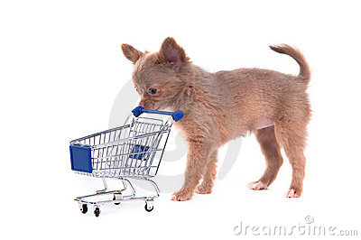 Chihuahua Puppy with shopping cart