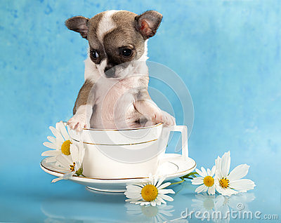 Chihuahua puppy sits in a cup