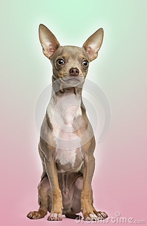 Chihuahua puppy sitting on a gradient colored background