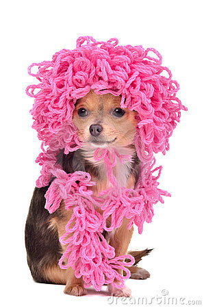 Chihuahua puppy wearing curly hat and scarf