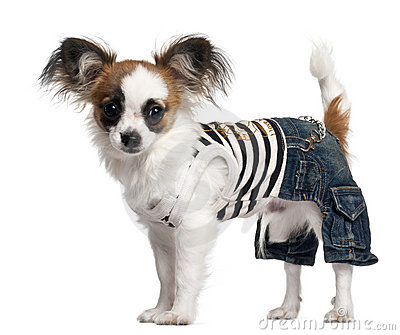 Chihuahua puppy wearing outfit, 6 months old
