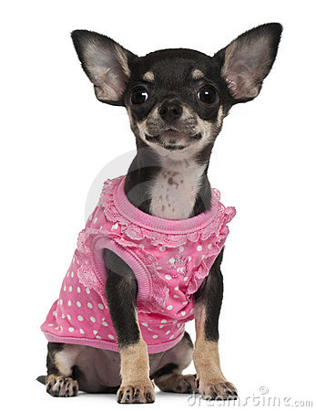 Chihuahua puppy wearing pink, 4 months old