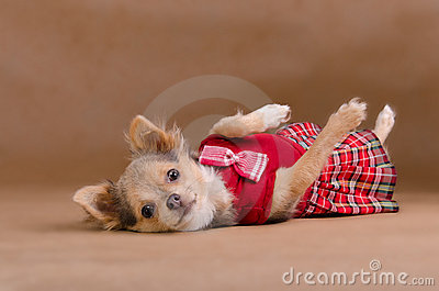 Chihuahua puppy wearing red kilt lying