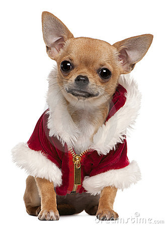 Chihuahua puppy wearing Santa coat
