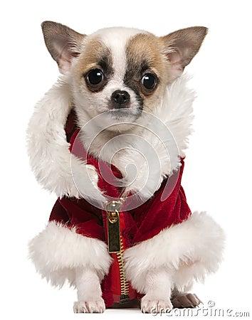 Chihuahua puppy wearing Santa coat