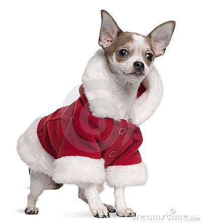 Chihuahua puppy wearing Santa outfit