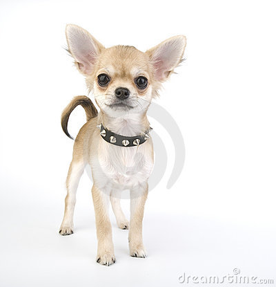 Free Chihuahua Puppy With Black Leather Collar With Spi Stock Images - 12103324