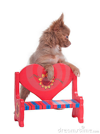 Chihuahua on a red heart shaped bench