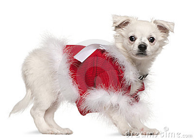 Chihuahua in red sweater, 17 months old