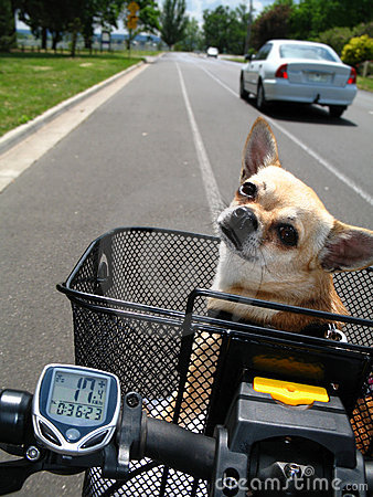 Chihuahua riding bicycle