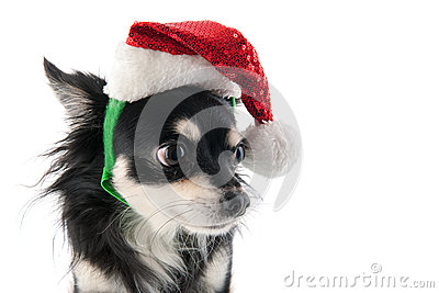 Chihuahua with Santa Claus hat