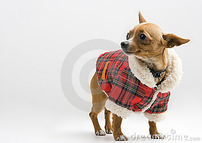 Chihuahua in Santa costume