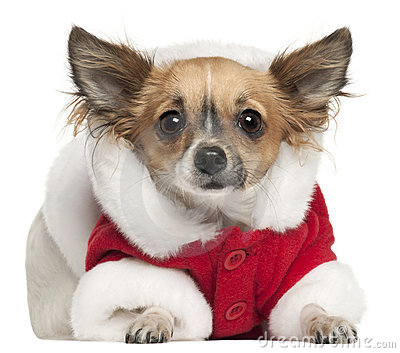 Chihuahua in Santa outfit, 1 year old, lying