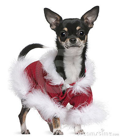 Chihuahua in Santa outfit, 7 months old