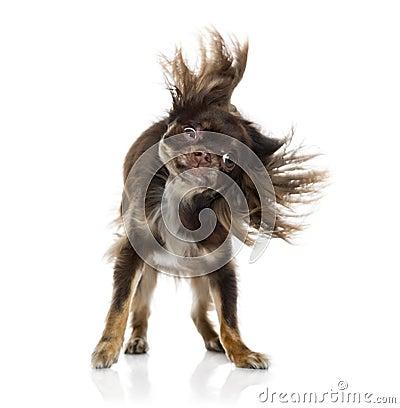 Chihuahua shaking itself