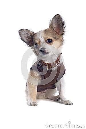 Chihuahua in a shirt