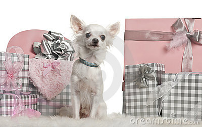 Chihuahua sitting with Christmas gifts