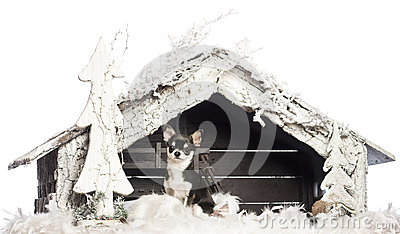 Chihuahua sitting in front of Christmas nativity